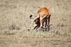 Cheetah_Feast_Mara_Kenya_Asilia_20150140