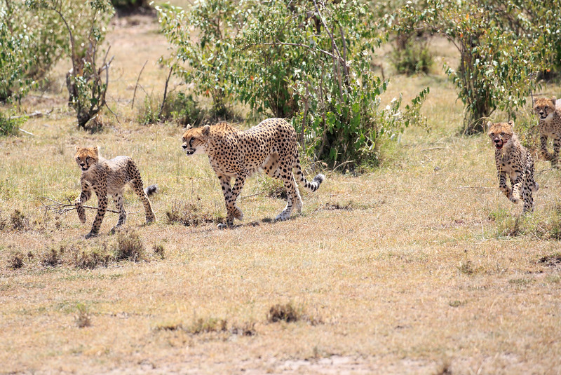 Cheetah_Feast_Mara_Kenya_Asilia_20150037
