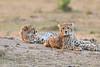Cheetah_Cubs__Mara_Kenya_Asilia_20150004