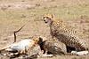 Cheetah_Feast_Mara_Kenya_Asilia_20150077
