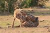 Cheetah_Cubs_Mara_Kenya_Asilia_20150227