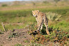 Cheetah_Family_Phinda_2016_0154