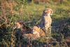Cheetah_Adventure_Phinda_2016_0116