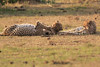 Cheetah_Cubs_Mara_Kenya_Asilia_20150202