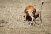 Cheetah_Feast_Mara_Kenya_Asilia_20150143