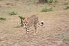 Cheetah_Mara_Asilia_Kenya0019