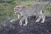 Cheetah_Family_Phinda_2016_0125