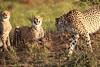 Cheetah_Adventure_Phinda_2016_0034
