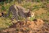 Cheetah_Adventure_Phinda_2016_0029