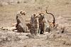 Cheetah_Feast_Mara_Kenya_Asilia_20150023