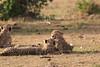 Cheetah_Cubs_Mara_Kenya_Asilia_20150271