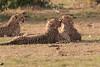 Cheetah_Cubs_Mara_Kenya_Asilia_20150269