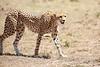 Cheetah_Feast_Mara_Kenya_Asilia_20150230