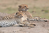 Cheetah_Cubs__Mara_Kenya_Asilia_20150021