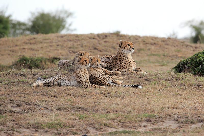 Cheetah_Family_Portraits_Mara_Kenya_Asilia_20150004
