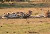 Cheetah_Cubs_Mara_Kenya_Asilia_20150193