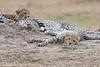Cheetah_Cubs__Mara_Kenya_Asilia_20150006