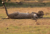Cheetah_Cubs_Mara_Kenya_Asilia_20150293