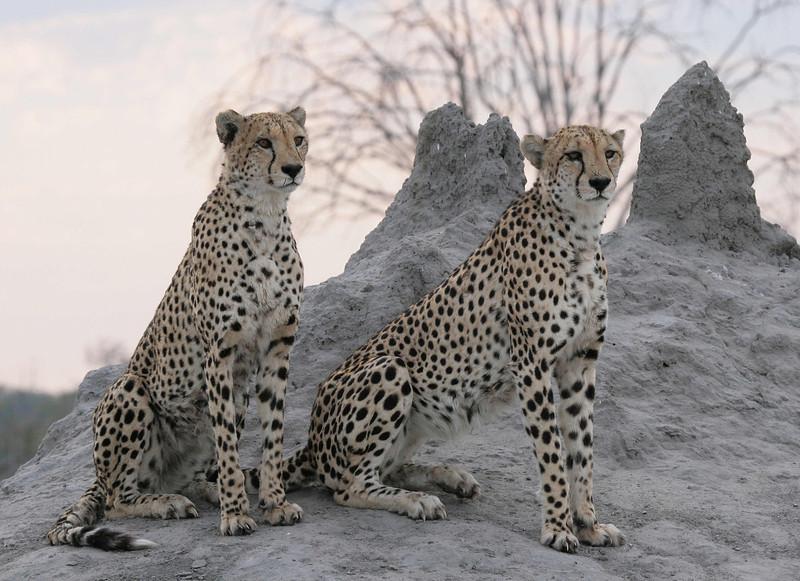 Cheetah Brothers Savuti Botswana