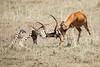 Cheetah_Feast_Mara_Kenya_Asilia_20150175