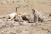 Cheetah_Feast_Mara_Kenya_Asilia_20150005