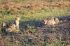 Cheetah_Adventure_Phinda_2016_0113