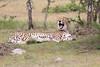 Cheetah_Mara_Asilia_Kenya0002