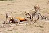 Cheetah_Feast_Mara_Kenya_Asilia_20150048