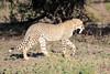 Cheetah_Family_Phinda_2016_0134