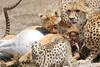 Cheetah_Feast_Mara_Kenya_Asilia_20150240