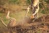Cheetah_Adventure_Phinda_2016_0040