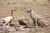 Cheetah_Feast_Mara_Kenya_Asilia_20150004