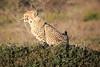 Cheetah_Family_Phinda_2016_0058