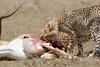 Cheetah_Feast_Mara_Kenya_Asilia_20150270
