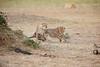 Cheetah_Cubs_Mara_Kenya_Asilia_20150134