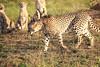 Cheetah_Adventure_Phinda_2016_0045