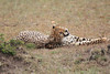 Cheetah_Mara_Asilia_Kenya0030