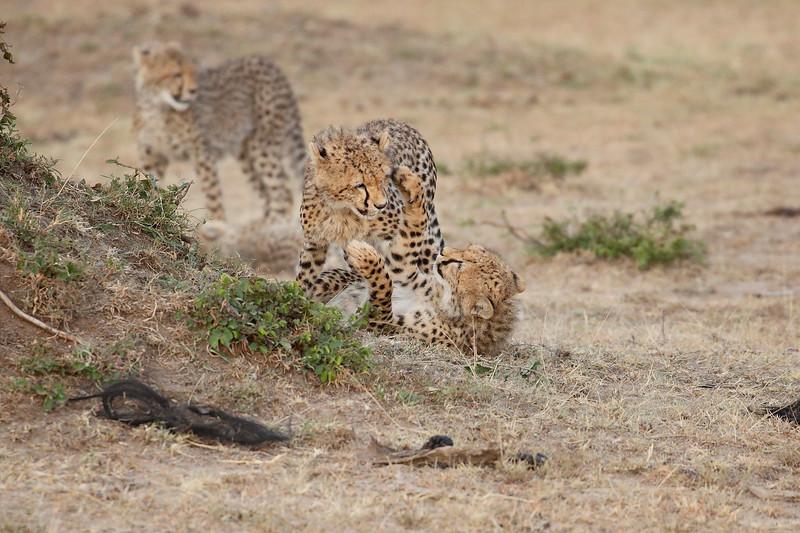Cheetah_Cubs_Mara_Kenya_Asilia_20150144