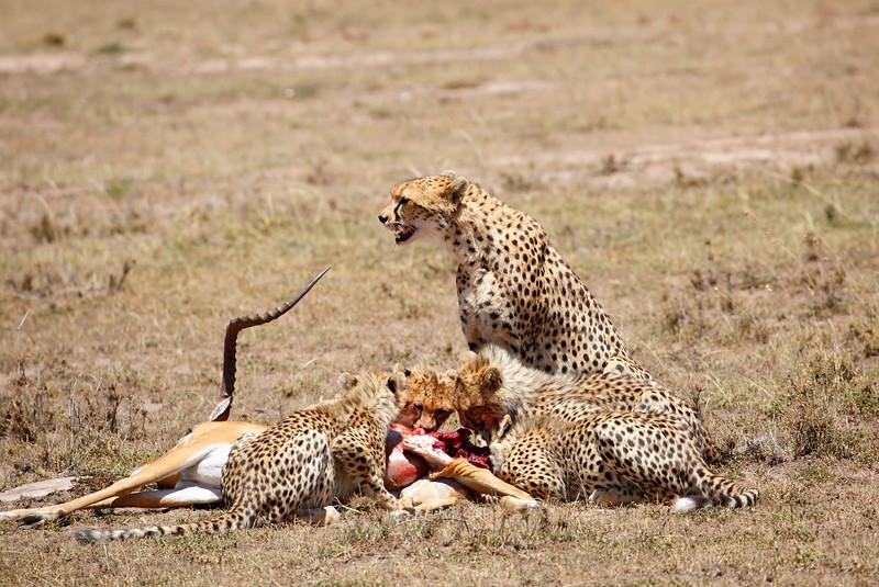 Cheetah_Feast_Mara_Kenya_Asilia_20150119