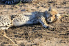 Cheetah_Family_Phinda_2016_0010