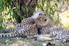 Cheetah_Cubs_Mara_Kenya_Asilia_20150076