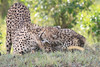 Cheetah_Mara_Asilia_Kenya0075