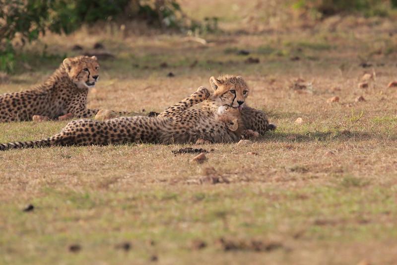 Cheetah_Cubs_Mara_Kenya_Asilia_20150285