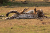 Cheetah_Cubs_Mara_Kenya_Asilia_20150179