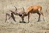 Cheetah_Feast_Mara_Kenya_Asilia_20150164