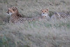 Cheetah_Family_Phinda_2016_0100