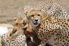 Cheetah_Feast_Mara_Kenya_Asilia_20150241