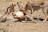 Cheetah_Feast_Mara_Kenya_Asilia_20150086