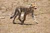 Cheetah_Feast_Mara_Kenya_Asilia_20150031