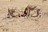 Cheetah_Feast_Mara_Kenya_Asilia_20150060